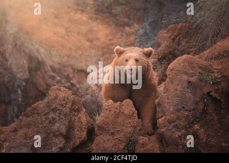 Fearsome large brown northern bear walking in red rocky terrain - Stock Photo