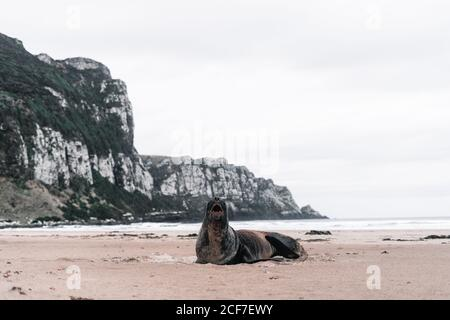 Big screaming seal on rocky shore in Purakaunui, New Zealand in cloudy day