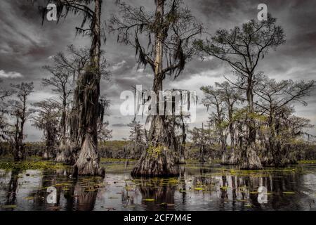 Cypresses trees and Spanish moss. Swamp land, Caddo Lake, Texas, USA