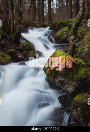 Amazing scenery of narrow river with waterfall cascade flowing through mossy rocky terrain in autumn forest with dry leaf on stone on foreground - Stock Photo