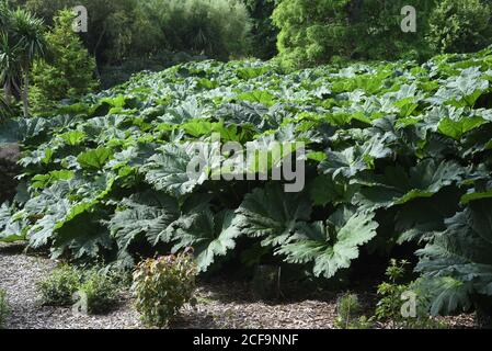 Gunnera tinctoria, known as giant rhubarb or Chilean rhubarb, is a flowering plant species native to southern Chile and neighbouring zones in Argentin Stock Photo