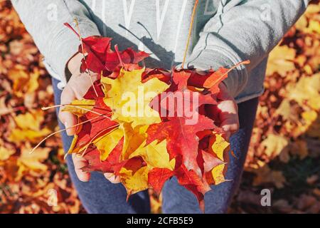 Human hands holding red and yellow tree leaves in autumn, closeup picture of palms full of maple and oak leaves in fall in the forest