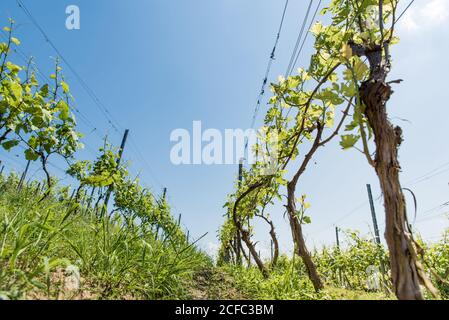 Rows of green grape vine trees before harvest growing in vineyard on hill. Farm winery and wine growing - Stock Photo