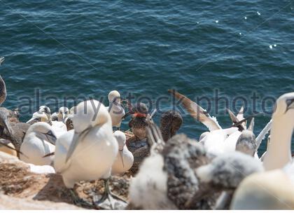 Helgoland Basstölpel Northern gannet vogel bird küken felsen natur meer ocean nest brustätte brüten umweltverschmutzung tierquälerei - Stock Photo