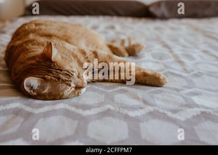 Cute fluffy tabby ginger cat sleeping peacefully on comfortable bed in bedroom