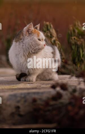 Funny kitten in yellow autumn leaves. Cat playing in autumn with foliage. British kitten in colored leaves on nature.