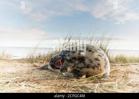 A young grey seal pup (Halichoerus grypus) plays with the grass on the Norfolk dunes - Stock Photo