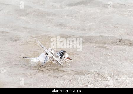 A young arctic tern (Sterna paradisaea) washes itself in the shallow edge of the North Sea off the Farne Islands - Stock Photo