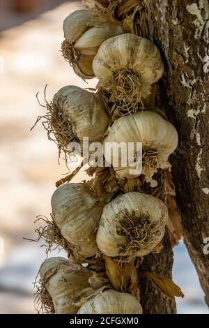 fresh garlic bulbs hanging in a plait on a tree for cooking. - Stock Photo
