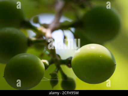Unripe Grapes: A cluster of ripening green grapes with a small spider's thread between two of the fruits. - Stock Photo