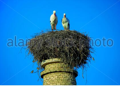 White Storks, couple of storks in nest, located on an old pillar of bricks, accompanied by multiple common sparrows - Stock Photo
