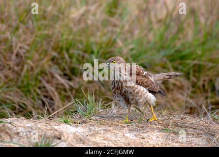 raptors in wildlife of Pakistan