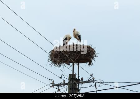 Pair of white stork Ciconia ciconia in their nest on top of electric pole, Kaptalantoti, Hungary - Stock Photo