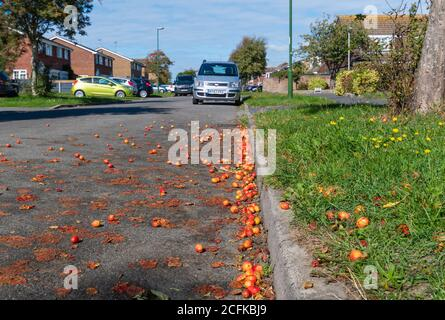Fruit from Crab Apple (crabapple) tree (Malus sylvestris) fallen from tree & squashed in road in Autumn in West Sussex, England, UK. Crab apples. - Stock Photo