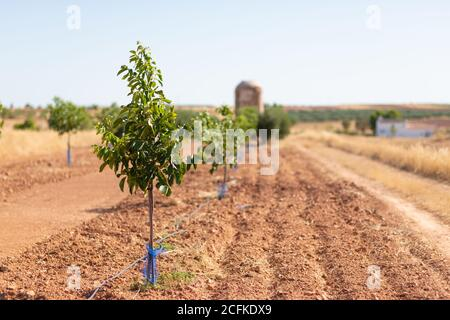 Young trees growing on agricultural field in countryside on sunny day in summer - Stock Photo