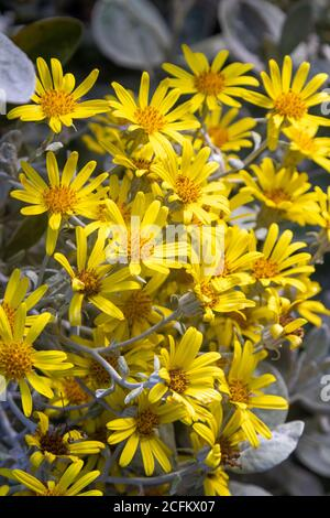 Brachyglottis greyi, also called Senecio greyi, with the common name daisy bush has bright yellow flowers. - Stock Photo