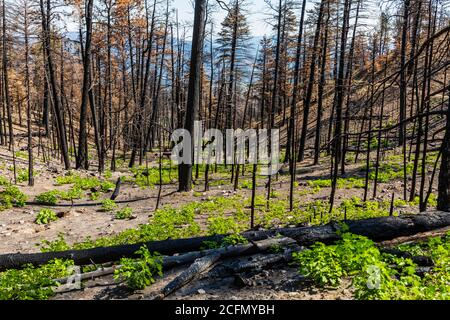 Regeneration of trees & plants that burned in forest fire; Rocky Mountains, Central Colorado, USA - Stock Photo
