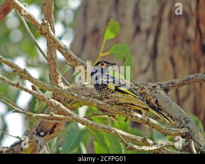 Regent honeyeater (Xanthomyza phrygia, Anthochaera phrygia), a critically endangered bird endemic to South Eastern Australia, Considered a flagship sp - Stock Photo