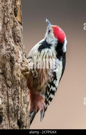 middle spotted woodpecker (Picoides medius, Dendrocopos medius, Leiopicus medius, Dendrocoptes medius), sitting at a tree trunk, Poland - Stock Photo