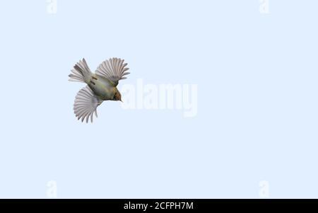 yellow-browed warbler (Phylloscopus inornatus), in flight, view from below, Denmark - Stock Photo