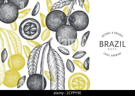 Hand drawn brazilian nut branch and kernels design template. Organic food vector illustration on white background. Retro nut illustration. Engraved st - Stock Photo