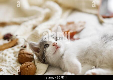 Adorable kitten playing with autumn leaves and acorns on soft blanket. Autumn cozy mood. Cute white and grey kitty playing with fall decorations on be