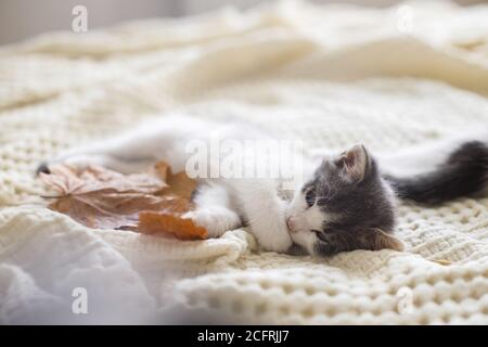 Adorable kitten grooming in autumn leaves on soft blanket. Autumn cozy mood. Cute white and grey kitty cleaning paw and relaxing with fall decorations - Stock Photo