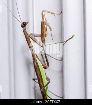Brown praying mantis on the painted door frame of a home in the USA taken in macro and focused on the head