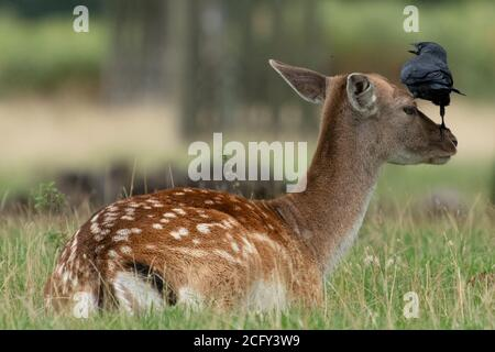 Bird grooming female fallow deer by standing on her nose