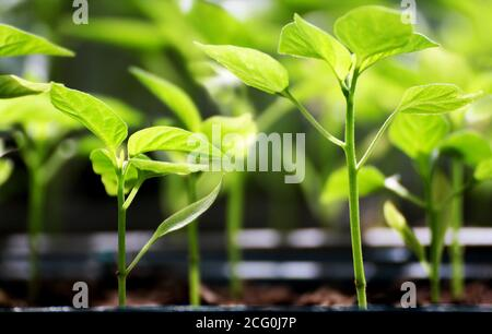 The spring planting. Early seeds of pepper, grown from seeds in boxes at home on the windowsill. The unusual appearance of seedlings in the sunlight. - Stock Photo