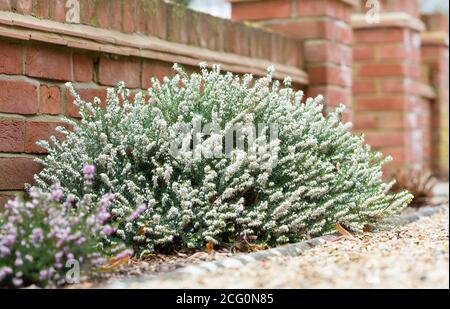 Heathers, winter flowering heather plants, White Perfection, erica x darleyensis, in a garden flowerbed, UK