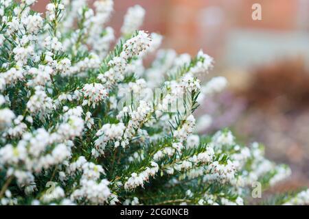 Winter heather plant closeup, White Perfection, erica x darleyenis in a garden border, UK - Stock Photo