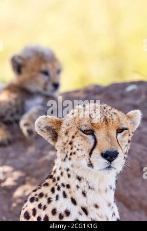 Cheetah mother with one cub rest in the shade