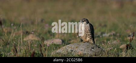 Young Peregrine falcon (Falco peregrinus) resting on rock