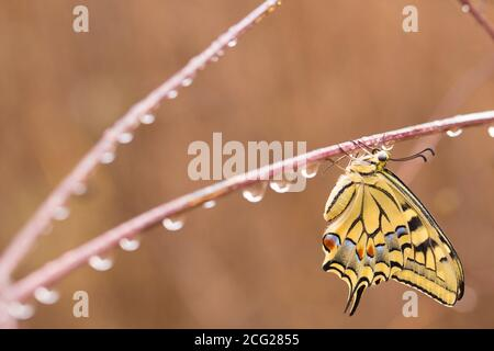 Old World Swallowtail (Papilio machaon) AKA Common yellow swallowtail Butterfly on a dew covered plant. This species, is native to Europe and Asia. Ph