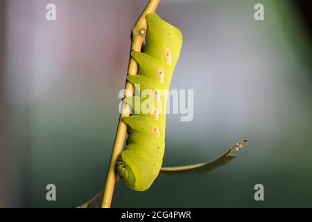 Pandorus Sphinx Moth Caterpillar eating grape vine leaves Large green caterpillar feeding in the forest hanging from vines. Close up bugs.