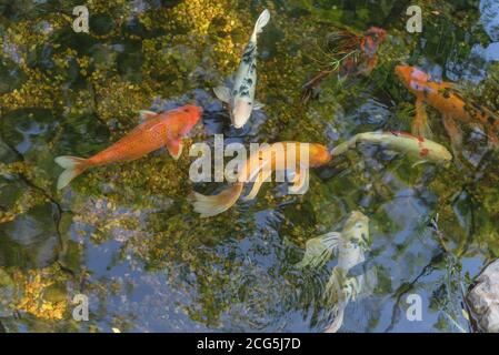 Mixed color beautiful koi fishes swimming at clear pond in botanic garden near Dallas, Texas, USA - Stock Photo
