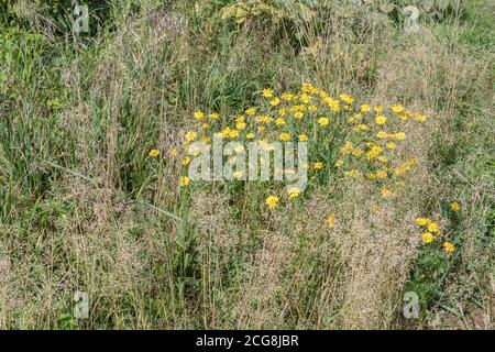Patch of bright yellow-flowered common arable weed Corn Marigold / Glebionis segetum = Chrysanthemum segetum in a field. Once used to make yellow dye. Stock Photo