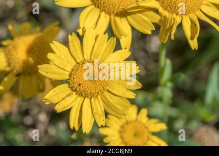 Close shot of bright yellow flowers of the common arable weed Corn Marigold / Glebionis segetum = Chrysanthemum segetum. Once used to make yellow dye. Stock Photo