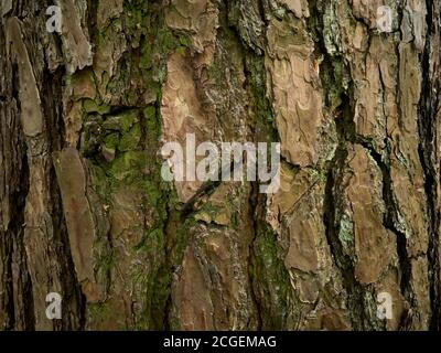 Striped, grooved and rugged pine bark. Aged patterned skin of evergreen conifer tree. Relief rind of old pine - Pinus sylvestris. Close-up picture Stock Photo