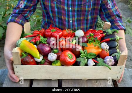 Harvest fresh vegetables in a wooden box in the hands of the farmer close-up. The concept of healthy food. - Stock Photo