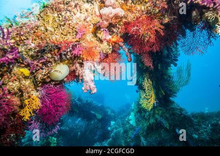 A lot of colorful soft corals cover the artificial fish reef against the background of the blue water.