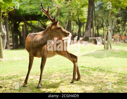 One of the famous sacred sika deers in Nara, Japan - Stock Photo