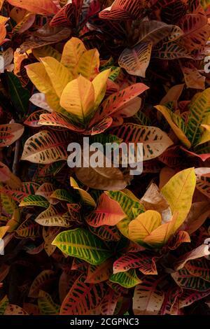 Background of exotic garden croton or Codiaeum variegatum leaves. Detailed textured of colorful leaf blades, decorative perennial evergreen shrub - Stock Photo