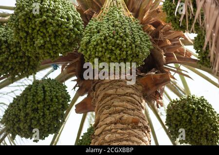 Date palm tree with many bunches of dates in a farm - Stock Photo