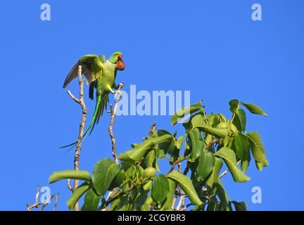 rose-ringed parakeet (Psittacula krameri) on tree top - Stock Photo