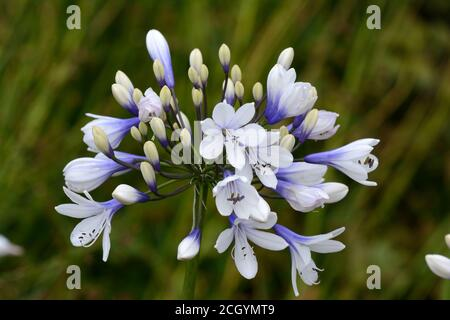 Agapanthus Twister African Liily Lily of the Nile blue and white flowerhead - Stock Photo