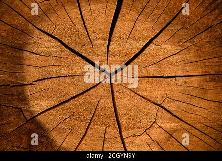 Cross section of the tree. Wood cut out close up structure, cracked surface from old age.