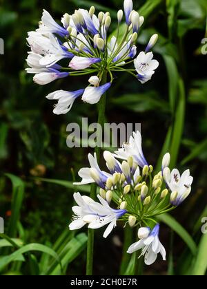 Blue and white tubular blooms in the flower heads of the hardy perennial Agapanthus 'Twister'
