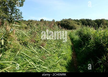 Snape, Suffolk, UK - 13 September 2020: Sunny Sunday autumn afternoon by the River Alde. Badly overgrown riverside footpath. - Stock Photo